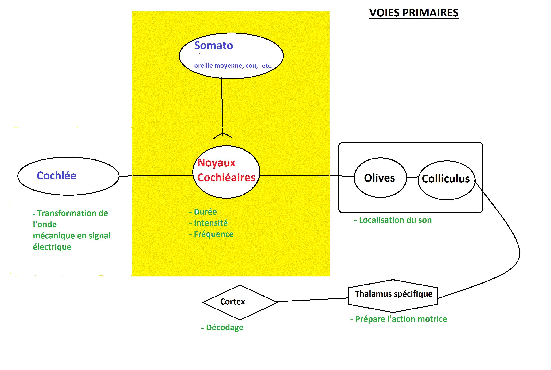 voies primaires audition