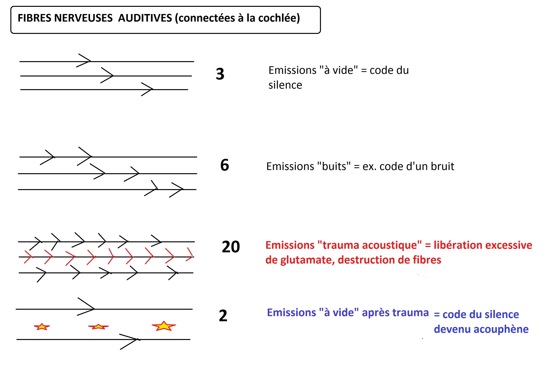 fibres nerveuses auditives